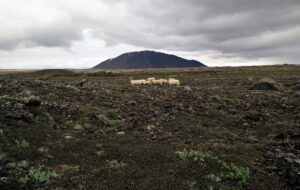 Hiking Mistakes - Sheep on Kjolur trail can't help you if you get lost