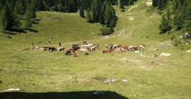 Vrtaca Trail – Cows at the mountain hut